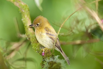 YellowishFlycatcher Savegre_09-786551299-O