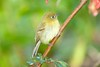 YellowishFlycatcher Savegre_09-786555495-O