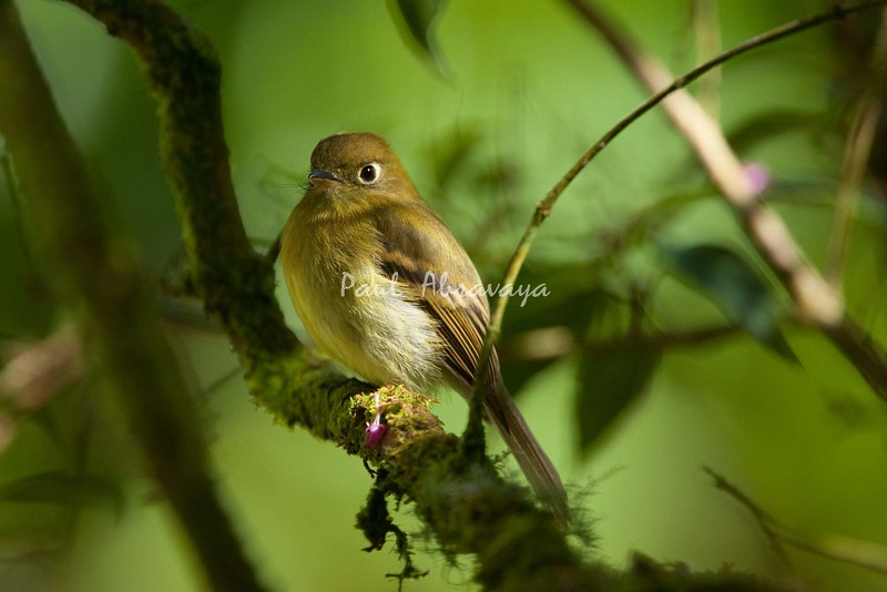 YellowishFlycatcher Savegre_09-786553686-O