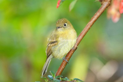 YellowishFlycatcher Savegre_09-786554626-O