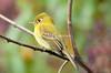 YellowishFlycatch Savegre_09-1-786550452-O
