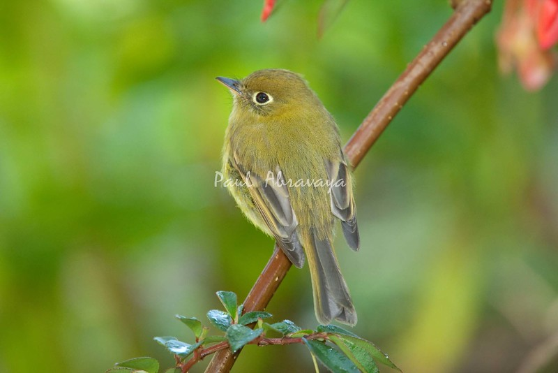 YellowishFlycatcher Savegre_09-786556305-O