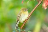 YellowishFlycatcher Savegre_09-786555763-O