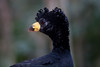Bare-Faced Curassow Brd Prk_06-08-12_0001