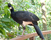 Bare-Faced Curassow BrdPrk_06-08-12_0008