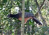 Bare-Faced Curassow BrdPrk_06-08-12_0003