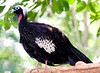Black-Fronted Piping Guan Brd P_06-08-12_0010