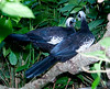 Black-Fronted Piping Guan Brd P_06-08-12_0005