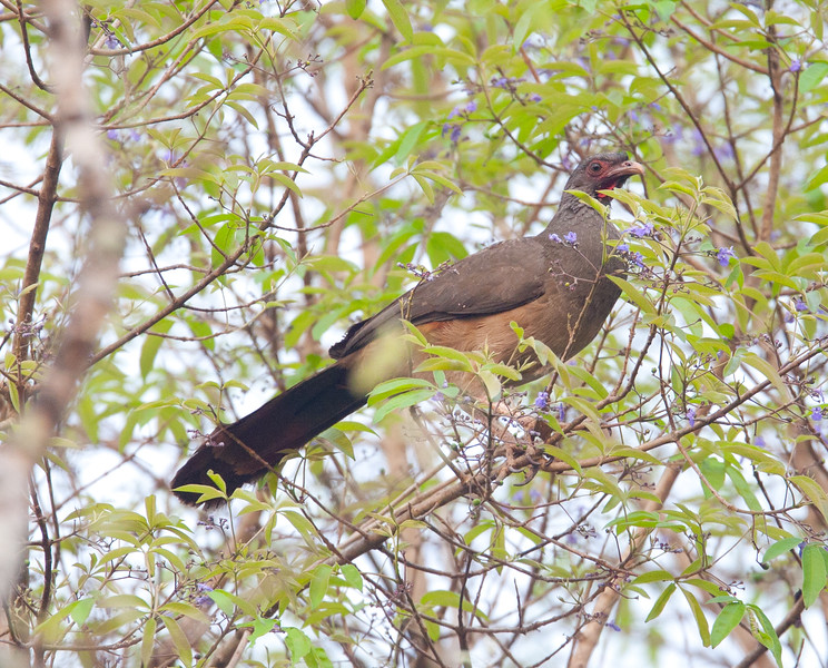 ChacoChachalaca Pantanal_10-09-28_7I2B9821