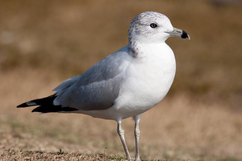 California Gull BolsaChica_07-12-30_0004
