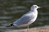 California Gull BolsaChica_07-12-30_0001