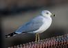 California Gull BolsaChica_07-12-30_0005