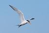ElegantTern BolChi_7I2B7331_2011-06-26-16-44-14