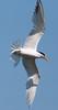 ElegantlTern BolChi_7I2B7183_2011-06-26-15-52-54