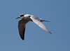 Forster's tern_07-09-20_0029