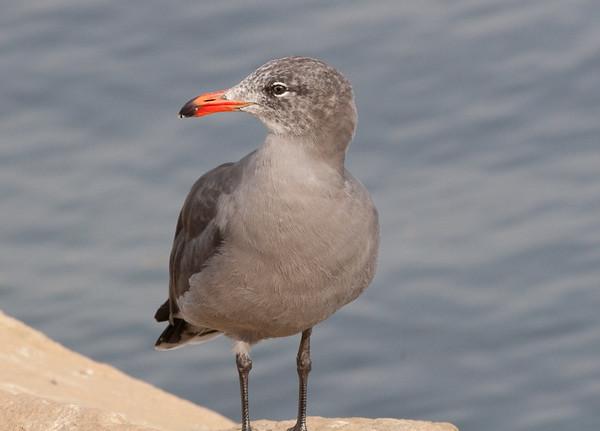 Heermanns Gull (4)