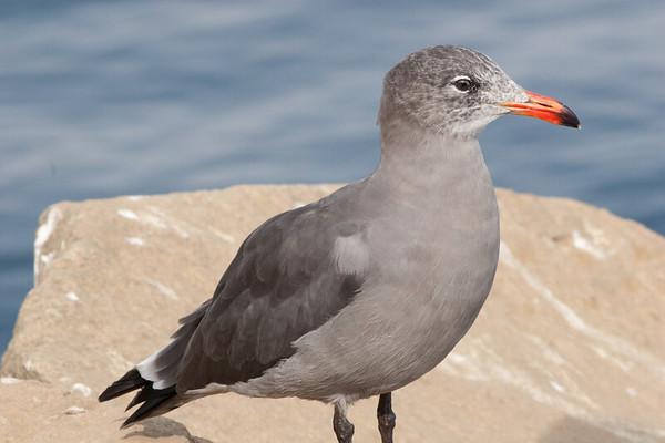 Heermanns Gull (7)