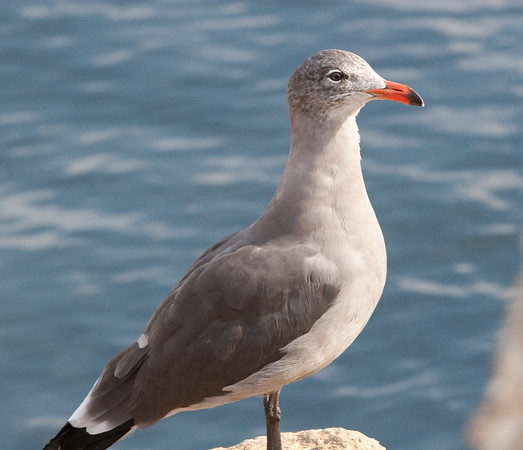 Heermanns Gull (1)