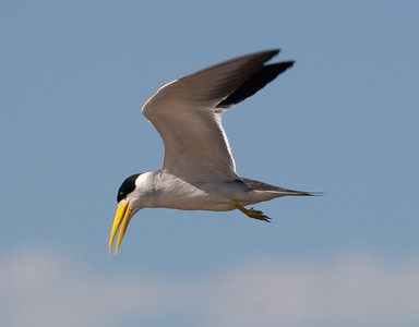 Large Billed Tern_06-08-13_0009