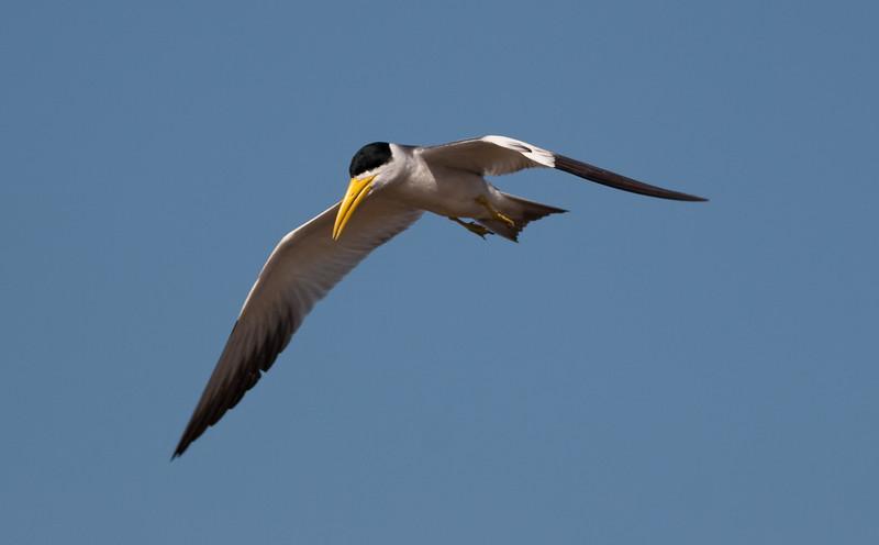 Large Billed Tern_06-08-13_0005