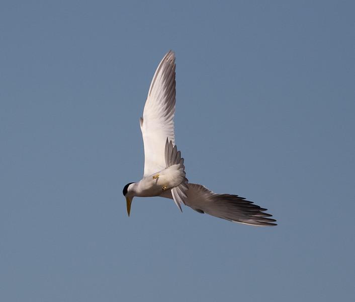 Large Billed Tern_06-08-13_0003