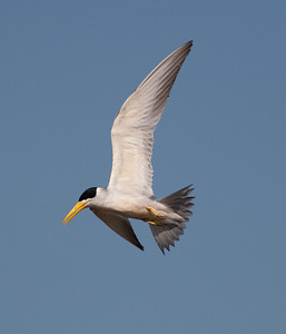 Large Billed Tern_06-08-13_0004