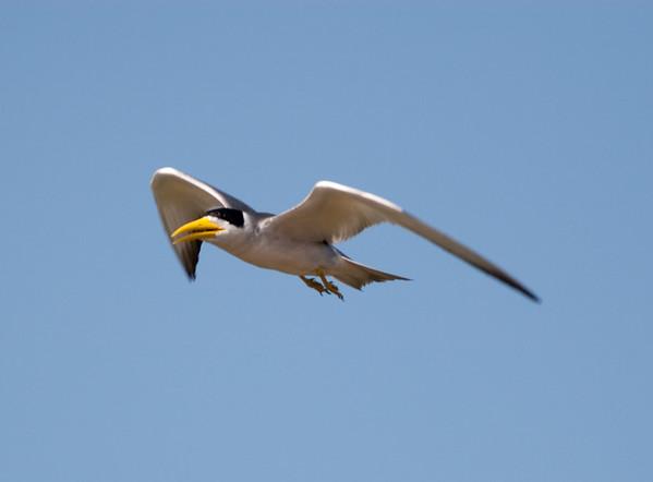 Large Billed Tern_06-08-13_0007