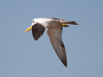 Large Billed Tern_06-08-13_0008