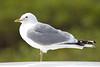 meww gull (15)