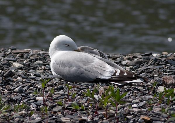 meww gull (20)