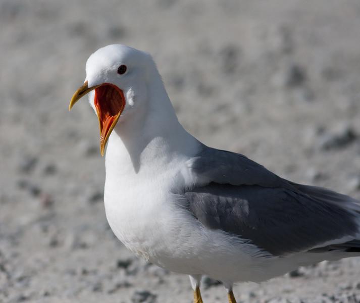 meww gull (7)