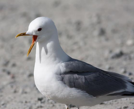 meww gull (6)