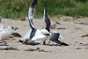WesternGullFighting_15-08-14__C7A9545