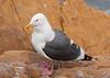 West Gull w starfish Morro_06-09-30_0003