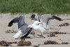 WesternGullFighting_15-08-14__C7A9518