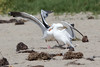 WesternGullFighting_15-08-14__C7A9520