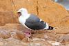 West Gull w starfish Morro_06-09-30_0001