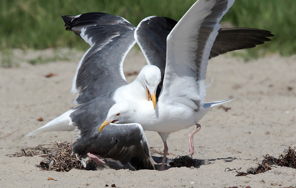 WesternGullFighting_15-08-14__C7A9524