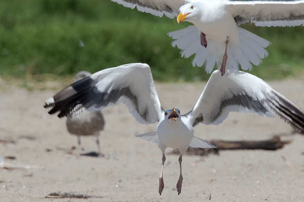 WesternGullFighting_15-08-14__C7A9569