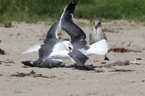 WesternGullFighting_15-08-14__C7A9550