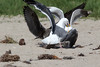 WesternGullFighting_15-08-14__C7A9523