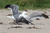 WesternGullFighting_15-08-14__C7A9537