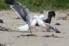 WesternGullFighting_15-08-14__C7A9531