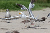 WesternGullFighting_15-08-14__C7A9568