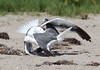 WesternGullFighting_15-08-14__C7A9529