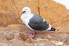West Gull w starfish Morro_06-09-30_0002