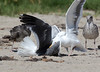 WesternGullFighting_15-08-14__C7A9554