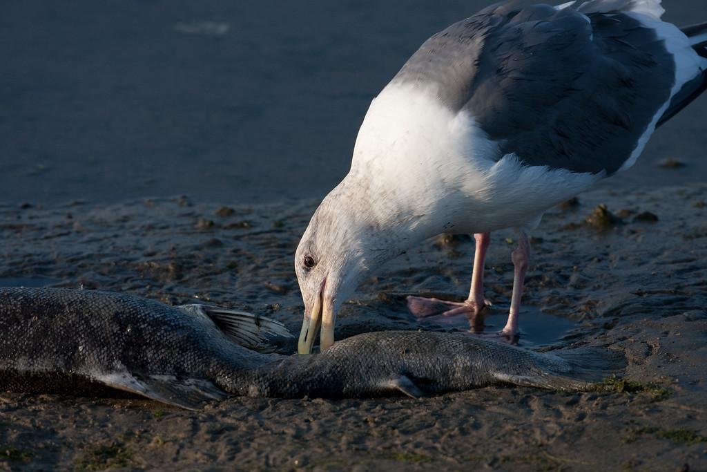 Western Gull BolsaChica_07-12-30_0010