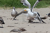 WesternGullFighting_15-08-14__C7A9567