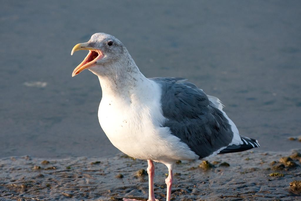 Western Gull BolsaChica_07-12-30_0009
